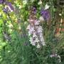 "A Pink Linaria purpurea ""Canon Went (Linaria purpurea (Purple Toadflax) ""Canon Went"")"