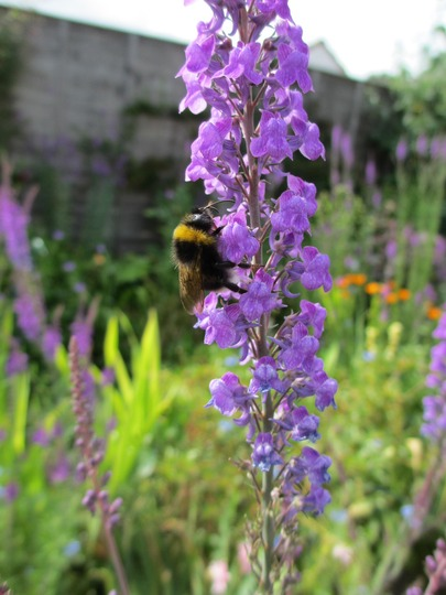 A bee on Linaria purpurea (Linaria purpurea (Purple Toadflax))