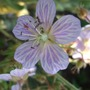 Geranium_pratense_splish_splash_