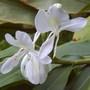 Hedychium coronarium (Hedychium coronarium (Butterfly Ginger))