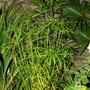 Cyperus alternifolius (Cyperus alternifolius (Umbrella palm))