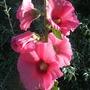 Pink_hollyhock