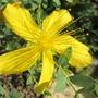Flower of Hypericum olympicum (Hypericum olympicum (Hypericum))
