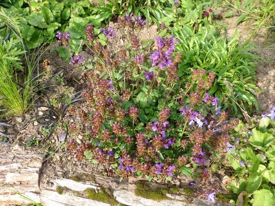 Prunella grandiflora (Prunella grandiflora (Bigflower Self-Heal))