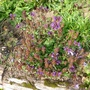 Prunella grandiflora (Prunella grandiflora (Bigflower Self-Heal))