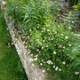 Daisies and ivy are starting to spill over the logs now. (Erigeron karvinskianus (Fleabane))