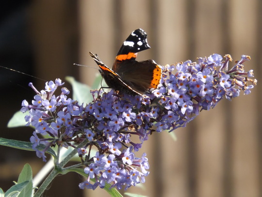 Buddleia Empire Blue and Red Admiral Butterfly (Buddleja davidii Empire Blue)
