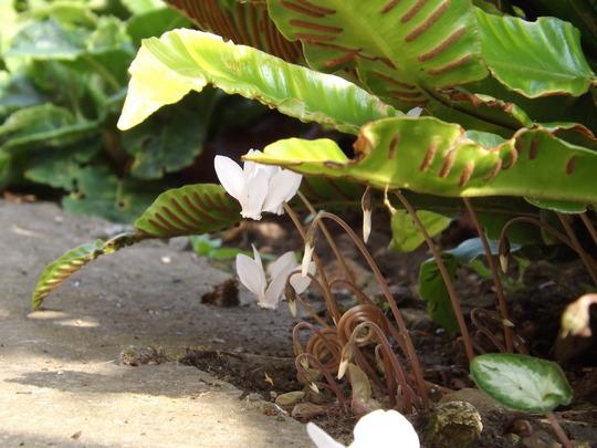 Cyclamen hederifolium (white form) (Cyclamen hederefolium)