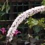 Actaea simplex Brunette (Actaea simplex)