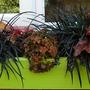 Ophiopogon Black Beard x 3...