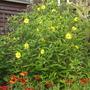 Helianthus Lemon Queen  (Helianthus)