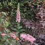 Digitalis x mertonensis (Strawberry Foxglove) (Digitalis x mertonensis (Foxglove))