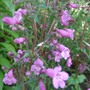 Penstemon smallii 'Violet Dusk' (Penstemon smallii)