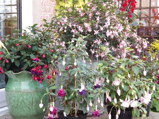 Fuchsia display on the back step
