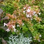 Abelia_grandiflora_kaleidoscope_2014