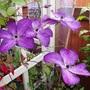 Clematis 'Venosa Violacea'