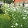 Queen Anne's Lace along the back fence.