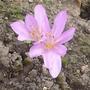 Colchicum autumnale - 2014 (Colchicum autumnale)