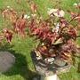 "Persicaria microcephala ""Red Dragon"" (Persicaria microcephala)"