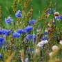 Cornflower:  18-Sept