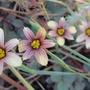 "Close up of flowers on Sisyrinchium ""Biscutella"" (Sisyrinchium  ""Biscutella"")"