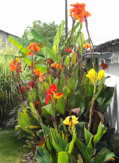 Canna 'Cleopatra' (bottom) and friends ♪ (Canna indica (Indian shot plant))