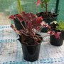 Heuchera_shirley_140914