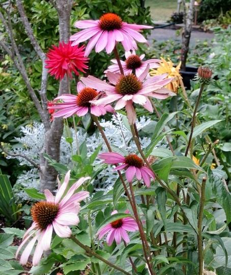 Echinacea purpurea/purple coneflower (Echinacea purpurea (Coneflower))
