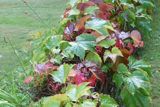Changing of seasons (Parthenocissus tricuspidata)