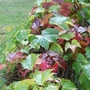 Changing of seasons (Parthenocissus tricuspidata)