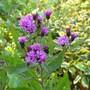Vernonia Gigantea (tall ironweed) (vernonia)