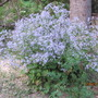 ciliolate asters