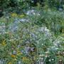 nature's aster garden