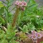 Sempervivum (Houseleek) (Sempervivum tectorum (Common Houseleek))