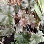 Heuchera_on_balcony_floor_19_09_2014