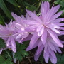 Cplchicum_waterlily