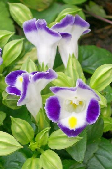 Wishbone Flower (Torenia fournieri (Wishbone Flower Duchess Mixed))