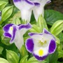 Wishbone Flower (Torenia fournieri (Wishbone Flower Duchess Mixed))