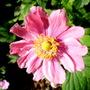 Japanese Anemone 'Pretty Lady Emily' (Anemone 'Pretty Lady Emily')