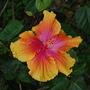 Hibiscus_5
