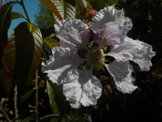 Lagerstroemia speciosa - Queen's Crape-Myrtle (Lagerstroemia speciosa - Queen's Crape-Myrtle)