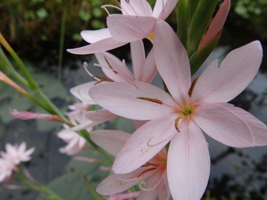 close up of pink pond iris