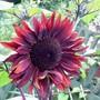 Helianthus annuus (Sunflower)