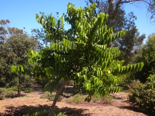 Ylang-Ylang Tree or Channel No. 5 Tree - Cananga odorata (Ylang-Ylang Tree or Channel No. 5 Tree - Cananga odorata)
