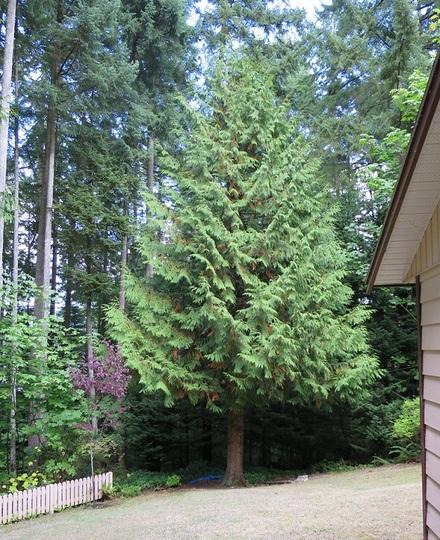 Western red cedar/Thuja plicata (Thuja plicata)