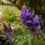 Aconitum carmichaelii (Aconitum carmichaelii (Monkshood))