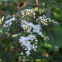 Eupatorium for Karen.... (Eupatorium rugosum (White snake root))