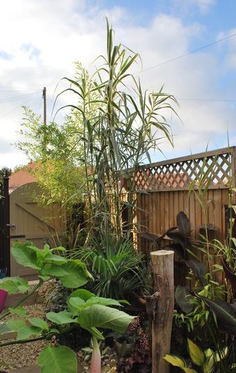 Arundo Donax and Bamboo.... (Arundo donax Variegated.)