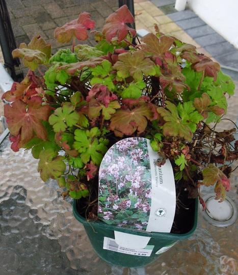 Geranium Ingwersons variety (Geranium macrorrhizum (Cranesbill))