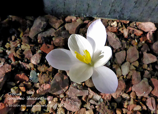 Crocus Goulimi Leucanthus (for alpine lovers)